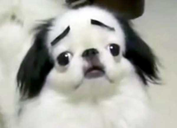 dogs-with-fake-eyebrows (10)