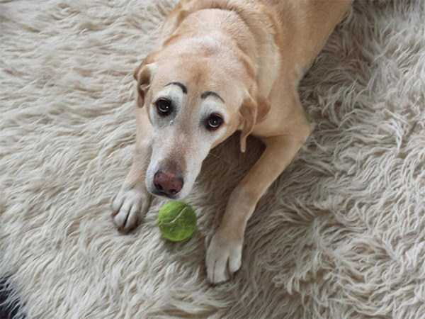dogs-with-fake-eyebrows (11)