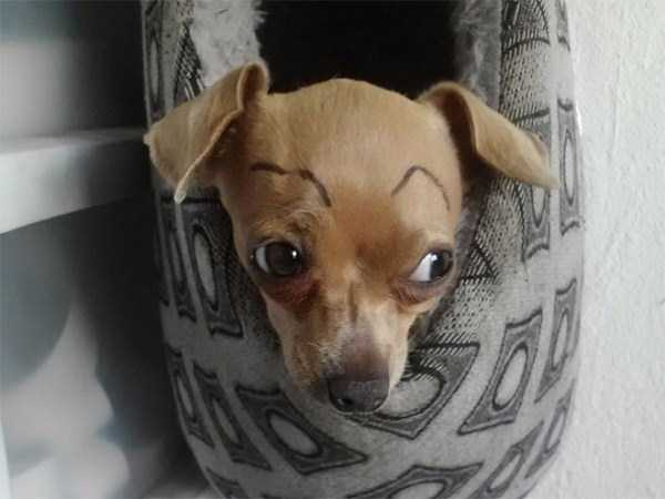 dogs-with-fake-eyebrows (12)