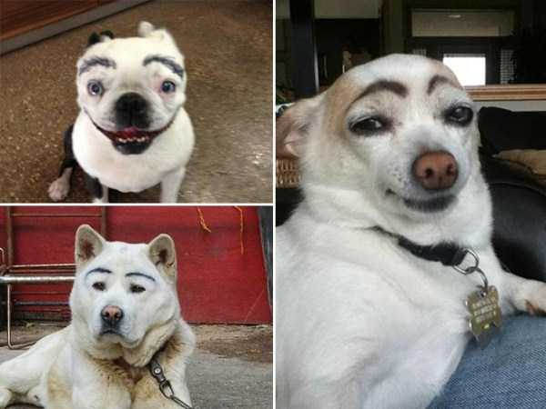 dogs-with-fake-eyebrows (13)