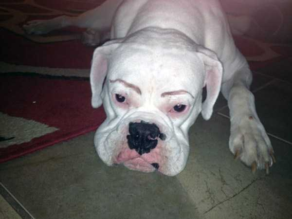 dogs-with-fake-eyebrows (14)