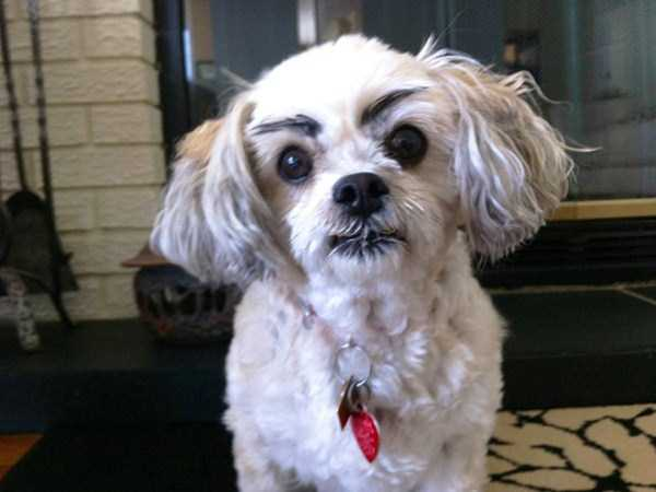 dogs-with-fake-eyebrows (16)