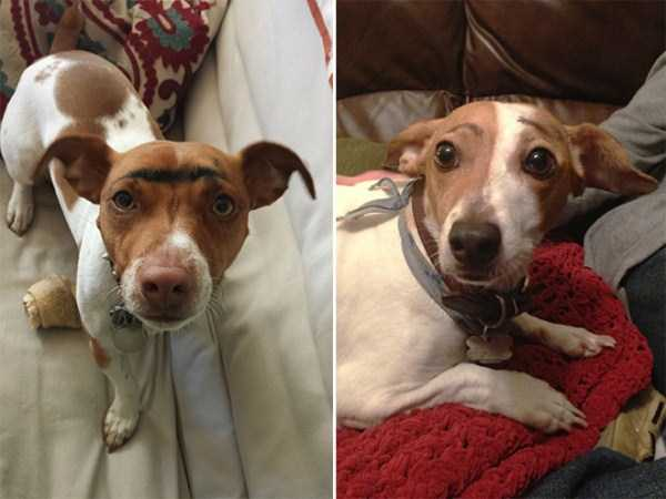 dogs-with-fake-eyebrows (19)