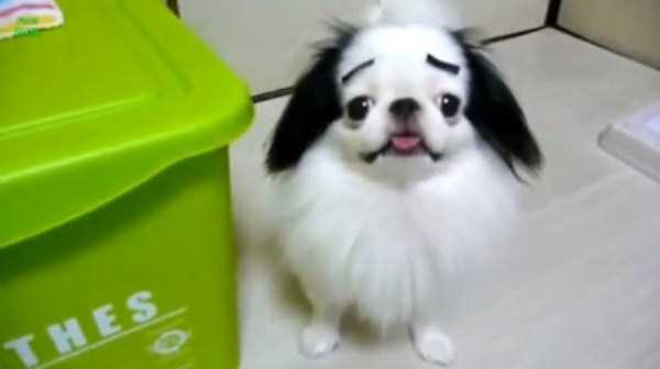 dogs-with-fake-eyebrows (2)