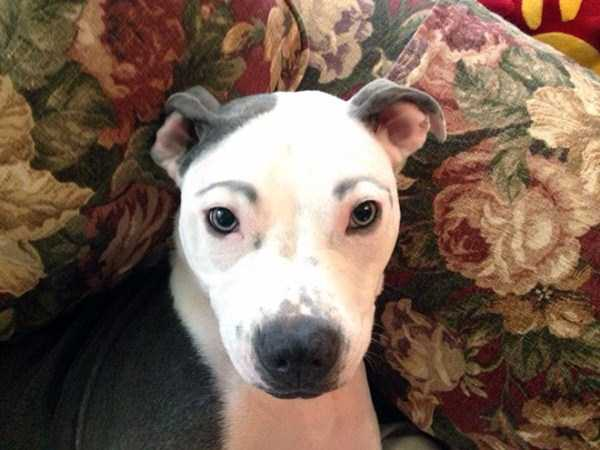 dogs-with-fake-eyebrows (22)