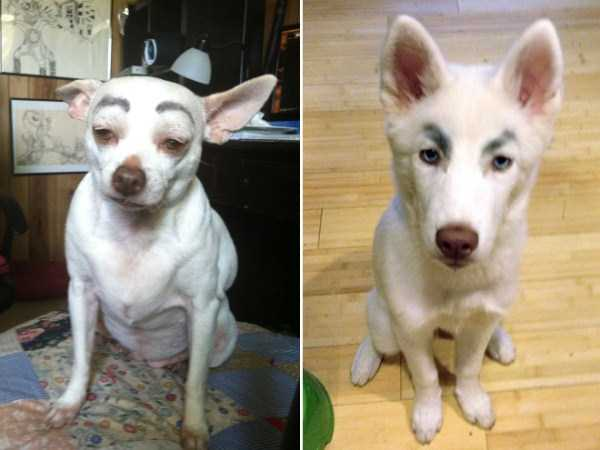 dogs-with-fake-eyebrows (23)
