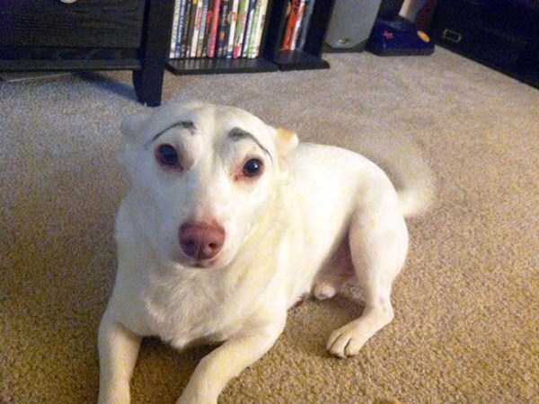 dogs-with-fake-eyebrows (24)