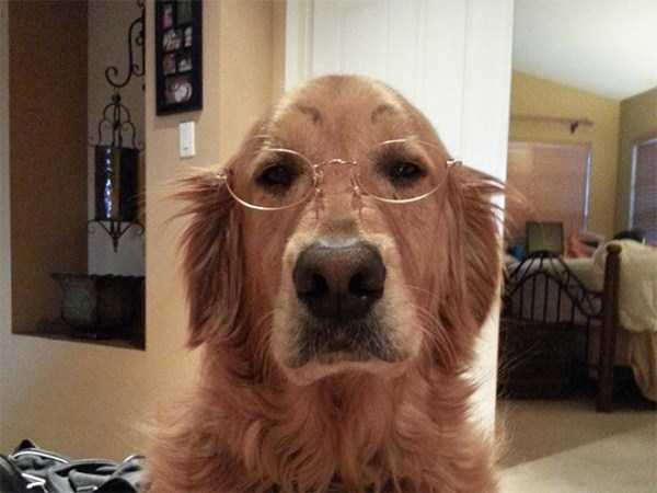 dogs-with-fake-eyebrows (26)