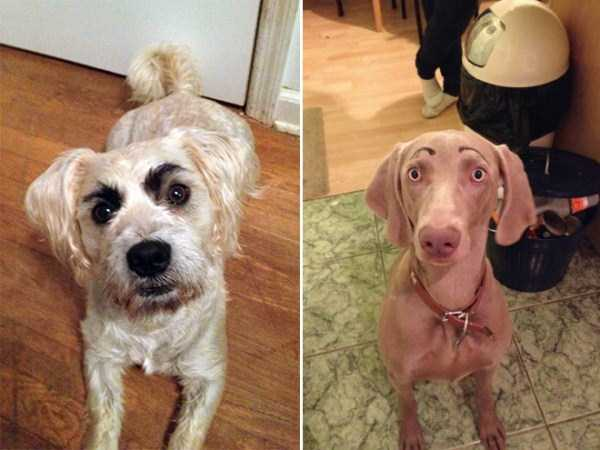 dogs-with-fake-eyebrows (27)