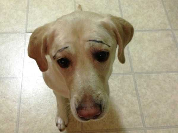 dogs-with-fake-eyebrows (28)