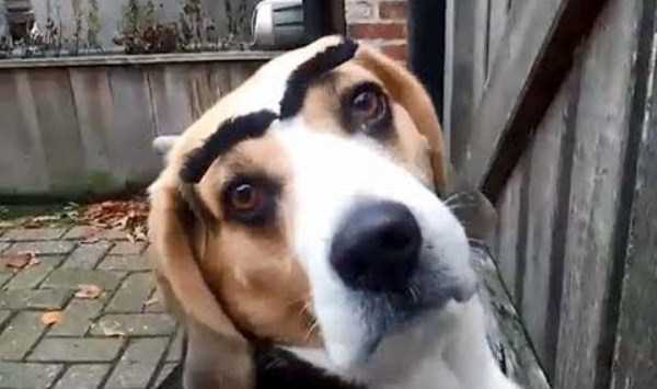 dogs-with-fake-eyebrows (31)