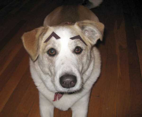 dogs-with-fake-eyebrows (4)