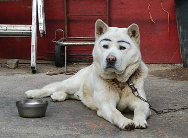 dogs-with-fake-eyebrows (5)