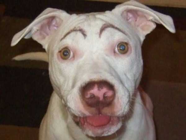 dogs-with-fake-eyebrows (6)