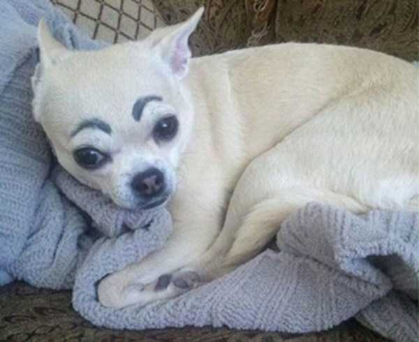 dogs-with-fake-eyebrows (8)