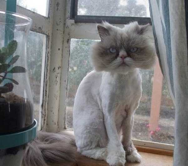 shaved-cats (20)