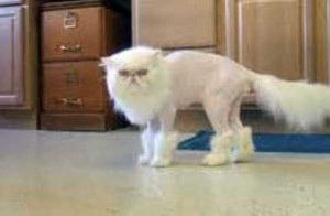 Ridiculously Stupid Cat Haircuts (25 photos) 21