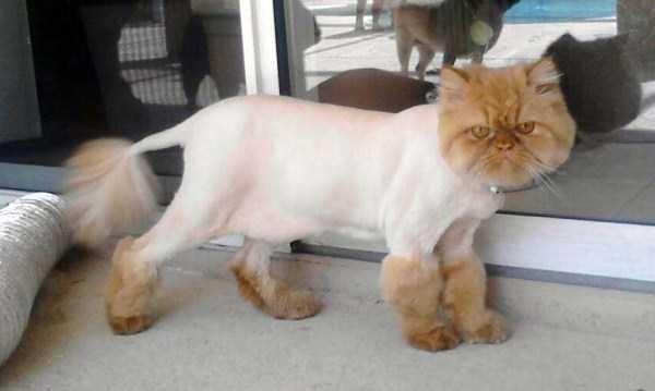 Ridiculously Stupid Cat Haircuts KLYKERCOM
