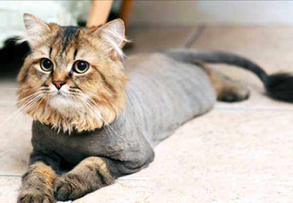 shaved-cats (3)