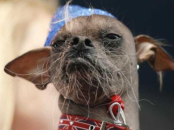 ugliest-dogs (11)