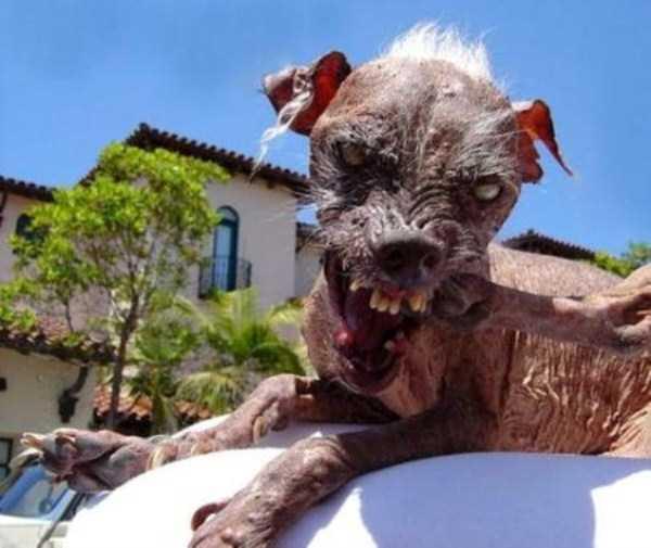 ugliest-dogs (2)