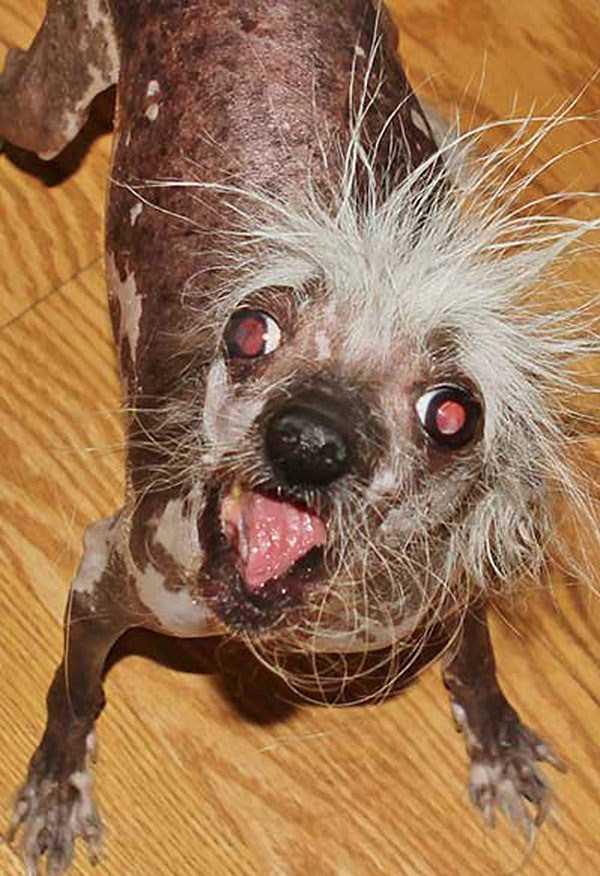 ugliest-dogs (21)