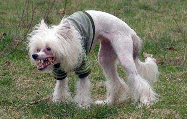 ugliest-dogs (24)