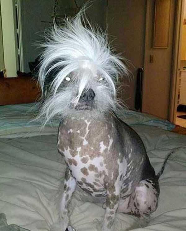 ugliest-dogs (26)