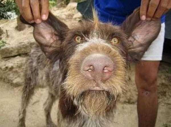 ugliest-dogs (28)
