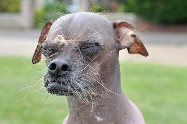 ugliest-dogs (3)
