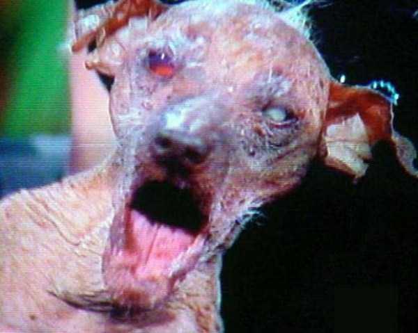 ugliest-dogs (4)
