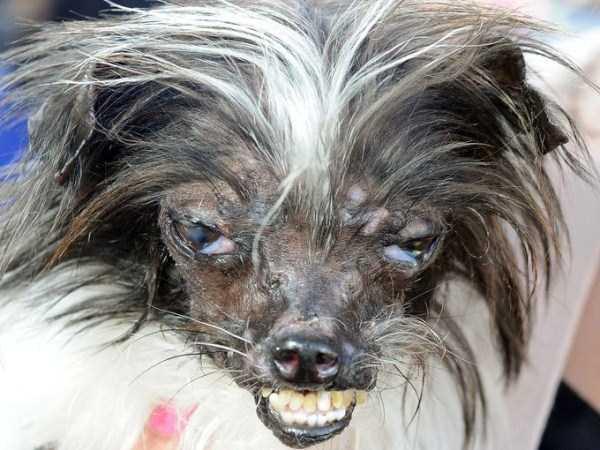 ugliest-dogs (5)