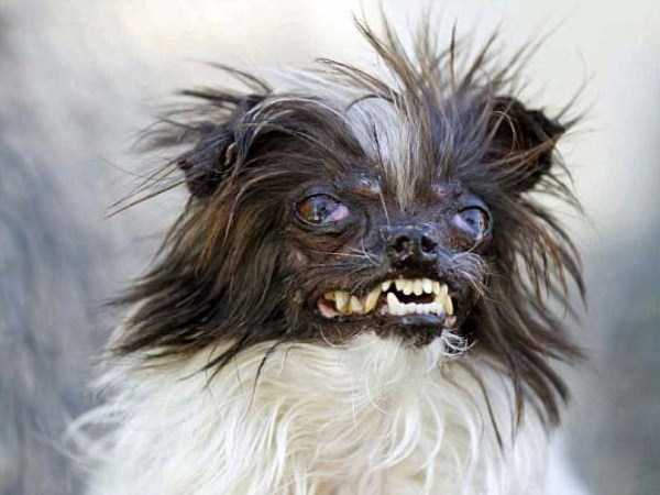 ugliest-dogs (6)