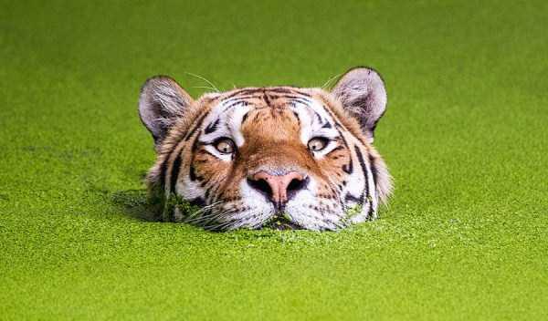 tiger-photos (25)