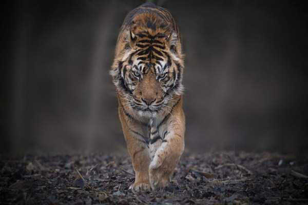 tiger-photos (4)
