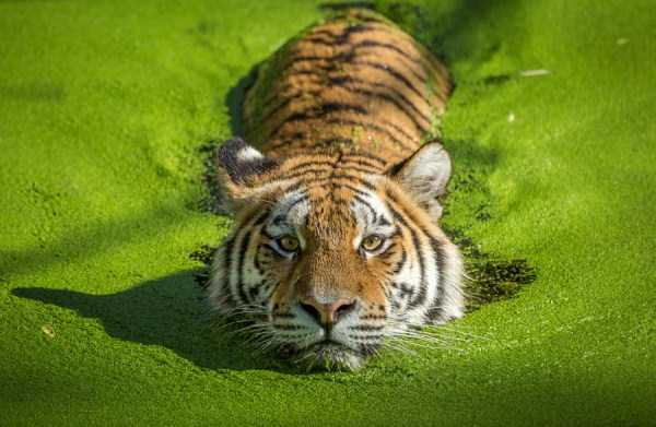 tiger-photos (6)