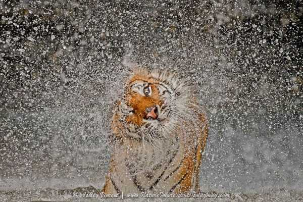 tiger-photos (9)