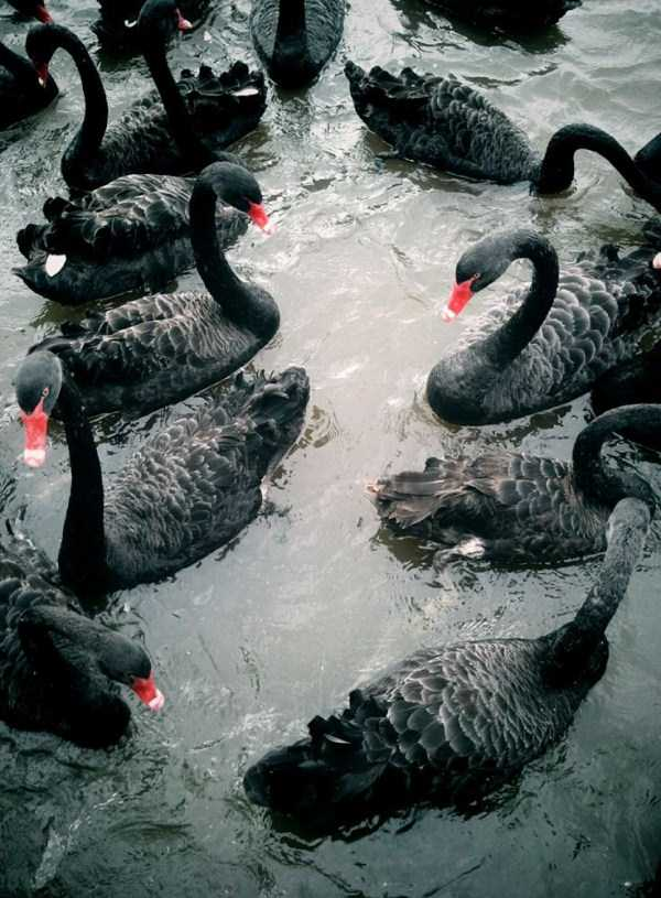 black-swan-photos (1)