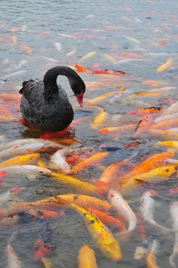black-swan-photos (10)