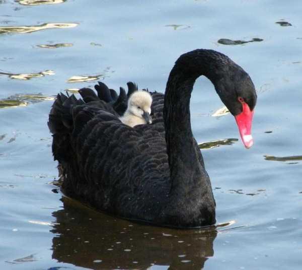 black-swan-photos (13)
