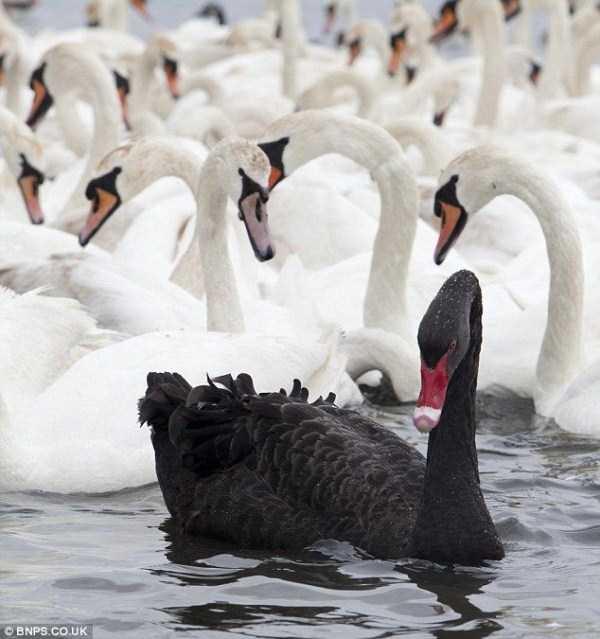 black-swan-photos (14)