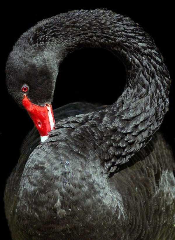 black-swan-photos (15)