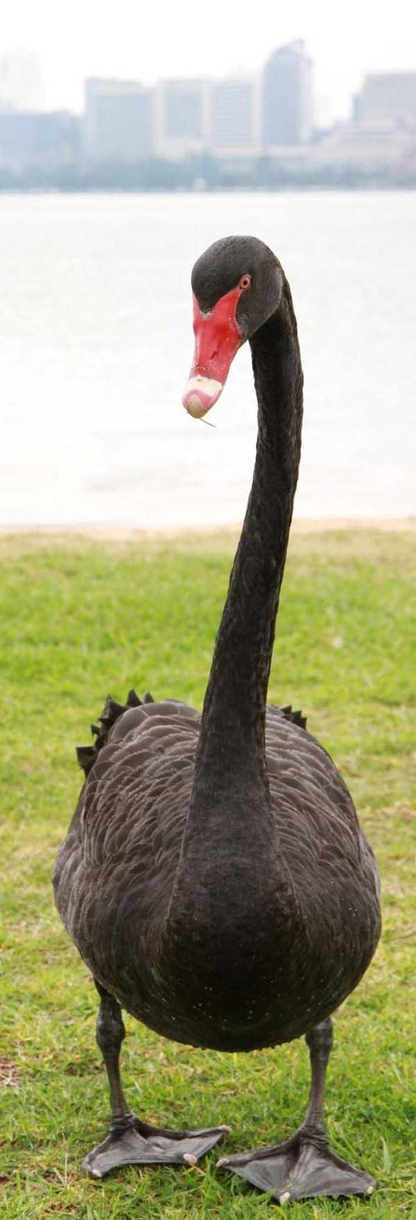 black-swan-photos (18)