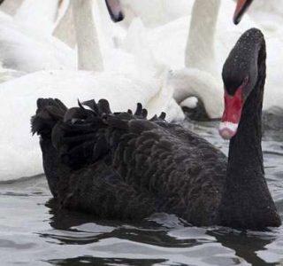 Extraordinary Beautiful Black Swan (19 photos)