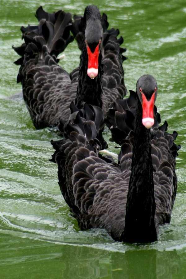black-swan-photos (3)
