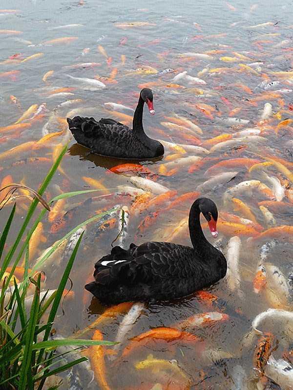 black-swan-photos (6)