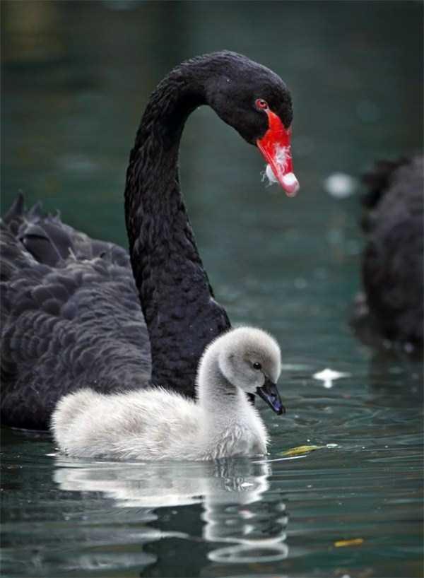 black-swan-photos (8)