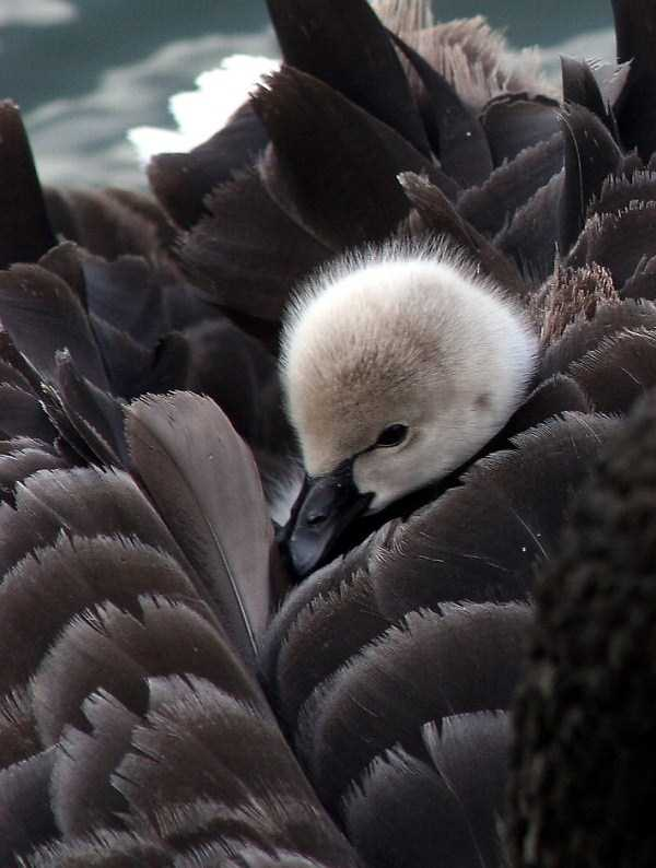 black-swan-photos (9)