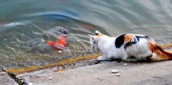cat-catching-goldfish-(11)