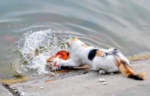 cat-catching-goldfish (2)